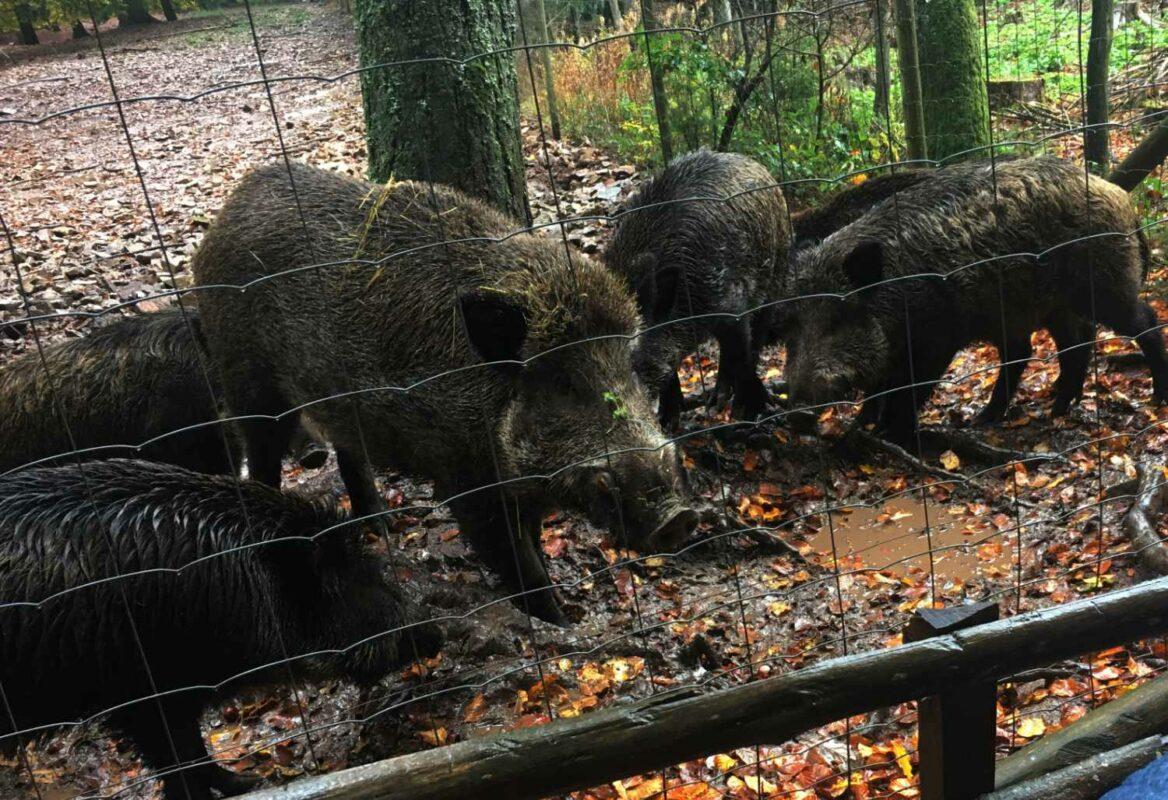 Wildschweine im Wildfreigehege Wildenburg