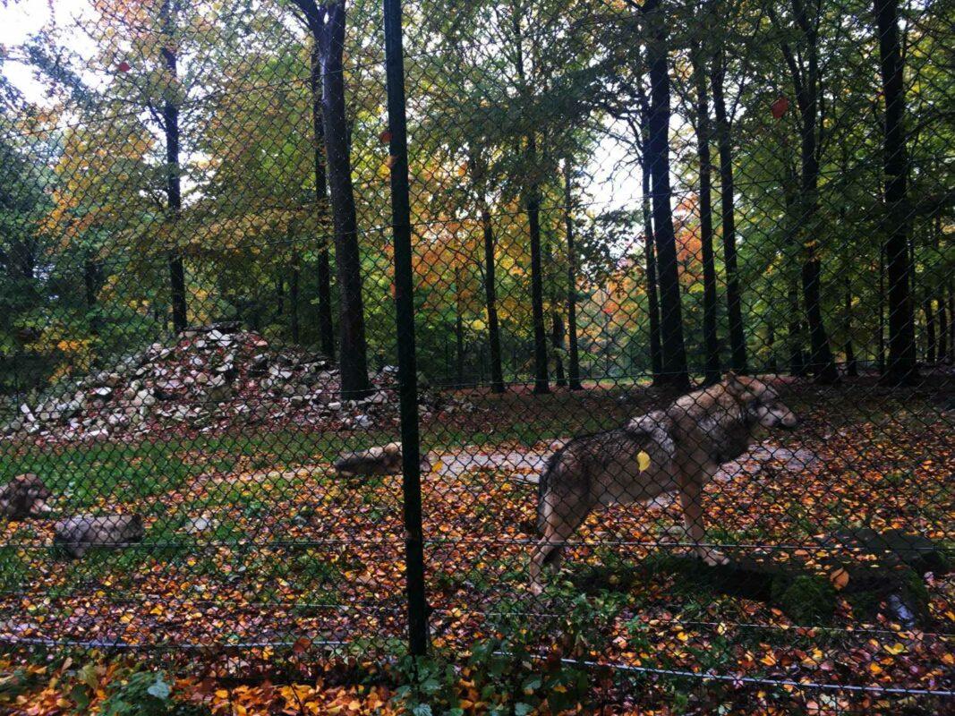 Wolf im Wildfreigehege Wildenburg